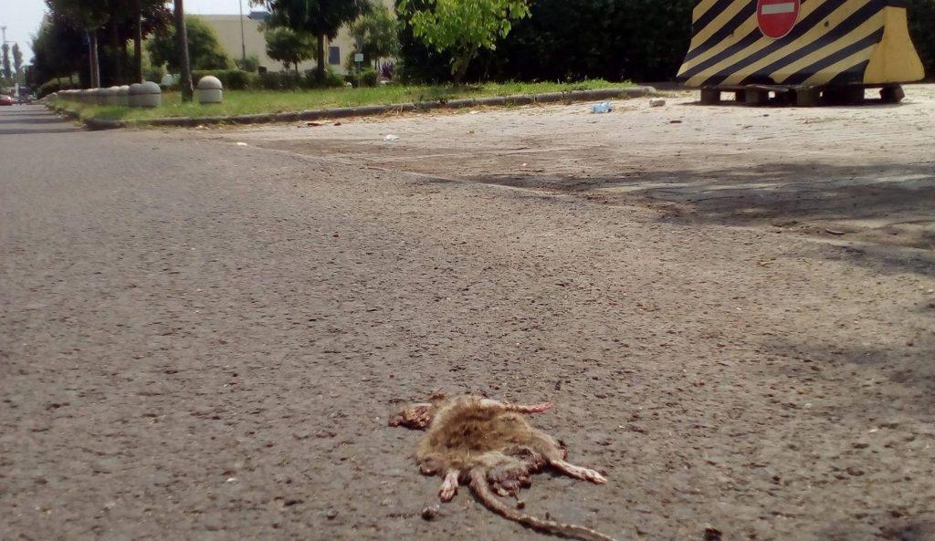 A döglött patkány a Lurdy ház parkolójában. Fotó: hulladekvadasz.hu