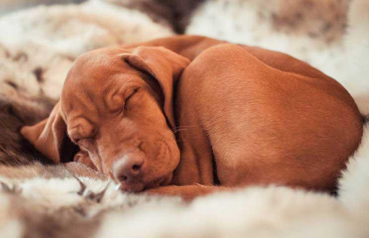 Kutyapóz, avagy a kutyák összekunkorodva alszanak. / Fotó: pixabay