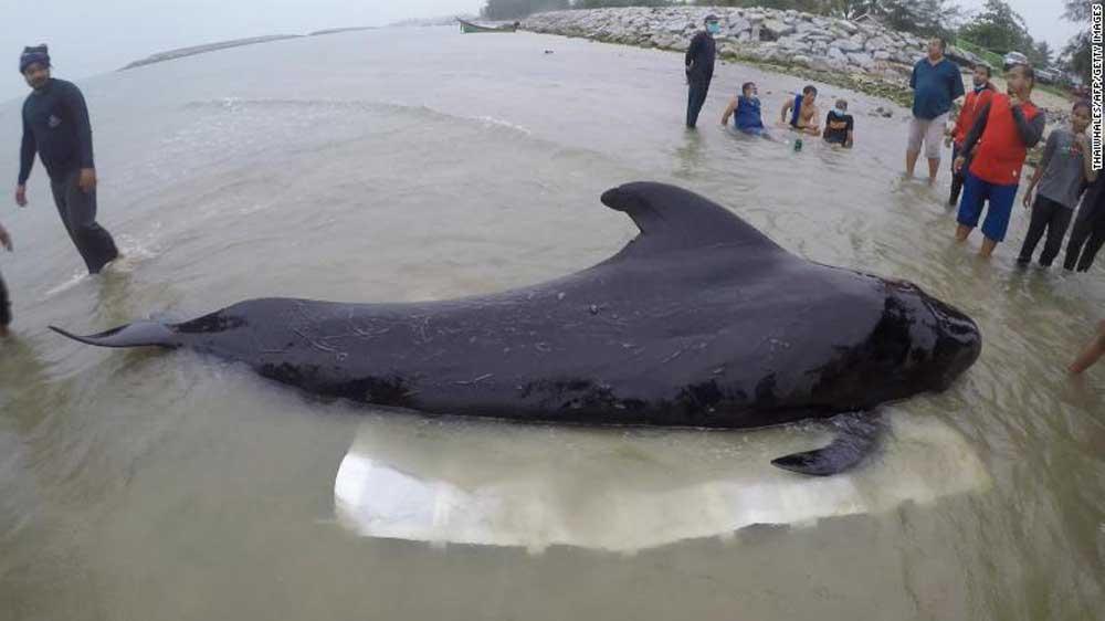 Az önkéntesek megpróbálják megmenteni a hím pilóta bálnát. Fotó: ThaiWhales