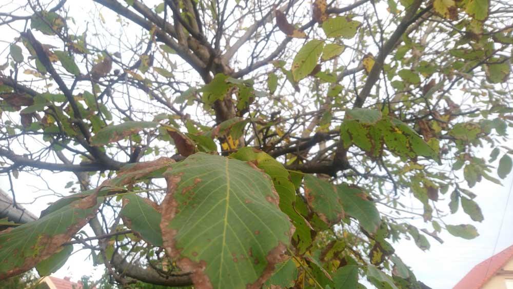 Diófa levele gyógyhatású. / Fotó: hulladekvadasz.hu