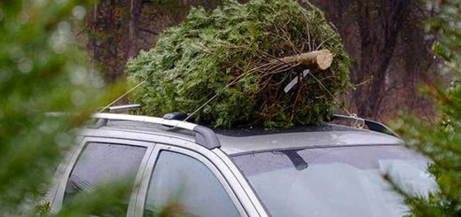 Karácsonyfa vásárlás: Milyen fenyőt vegyek?
