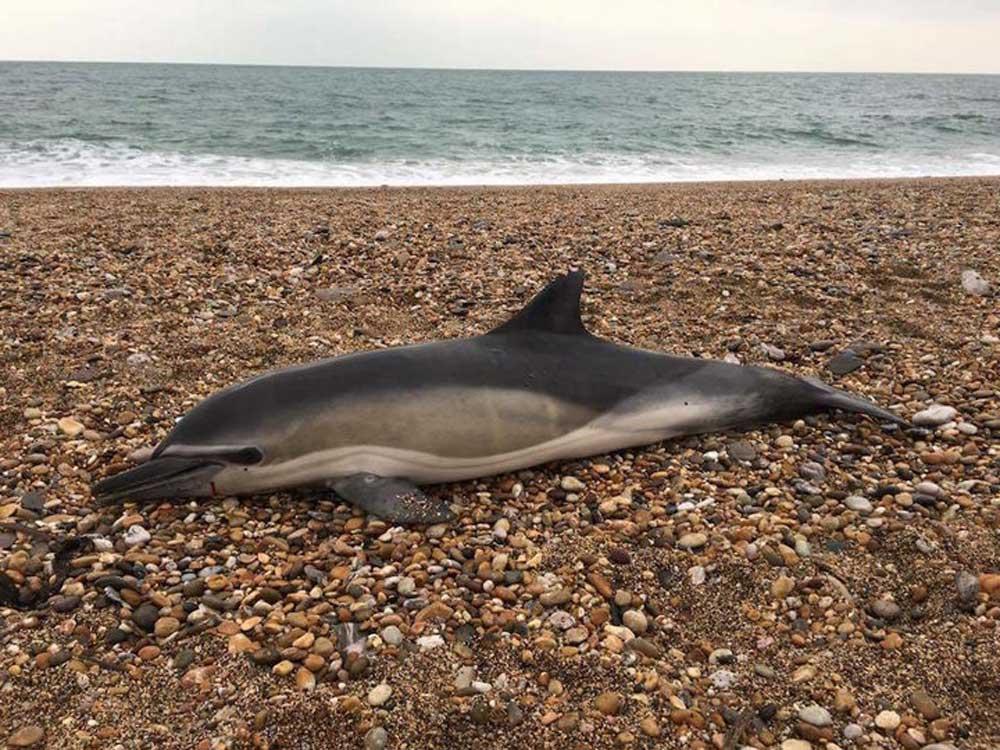 Egy elpusztult delfin a tenger kavicsmezején. / Fotó: Frazer hooking and csip.