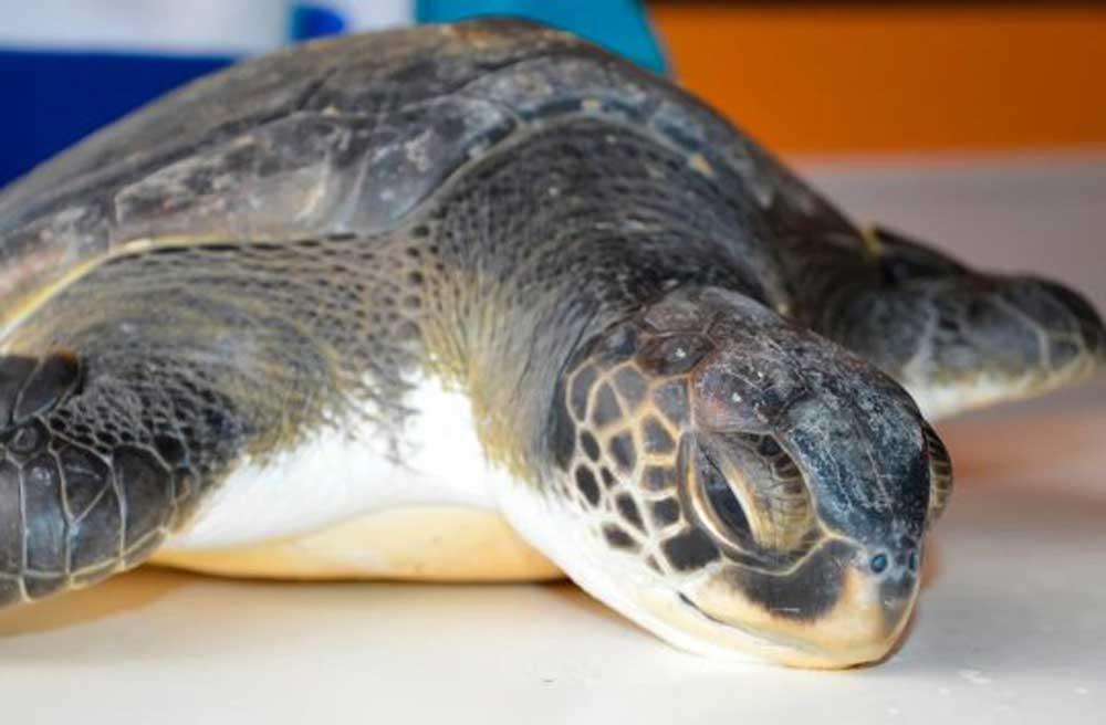 Íme a nagy túlélő tengeri teknős, aranyos nem? / Fotó: metro.co.uk