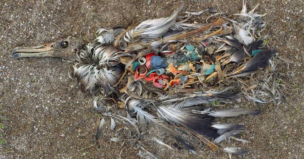 Madár, aki valószínűleg azért pusztult el, mert túl sok eldobált szemetet evett. / Fotó: internet